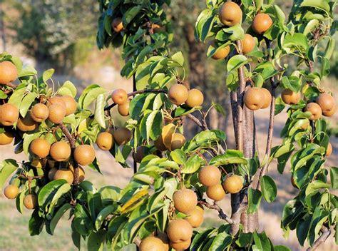 Growing Nashi Pears   How to Grow Asian Pears