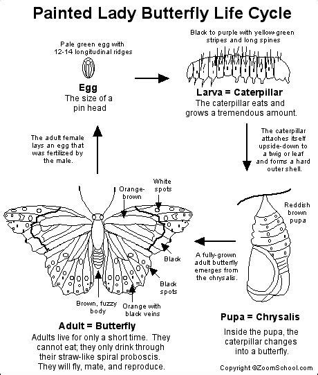 butterfly stages coloring pages 25 best ideas about lifecycle of a butterfly on pinterest