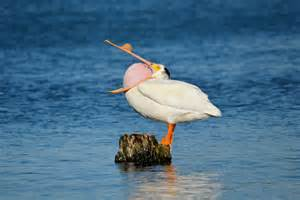 Backyard Birding Magazine by Photo Of The Week American White Pelican Birdwatching