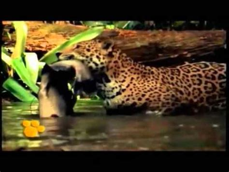 imagenes de animales jaguar el jaguar un animal en peligro de extinci 242 n youtube