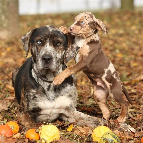 rare dog breeds puppies 118 best images about catahoula leopard dog on pinterest
