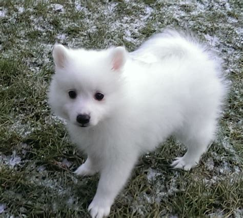spitz puppies for sale japanese spitz puppies for sale in the uk japanese spitz puppies for breeds picture