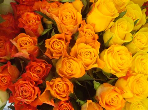 colorful roses free photo colorful roses wallpaper plants roses