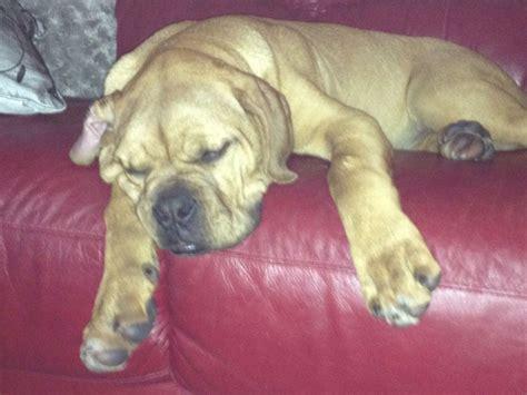 de bordeaux puppies for sale dogue de bordeaux puppies for sale keighley west pets4homes
