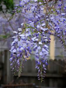 how to grow wisteria from seed pods