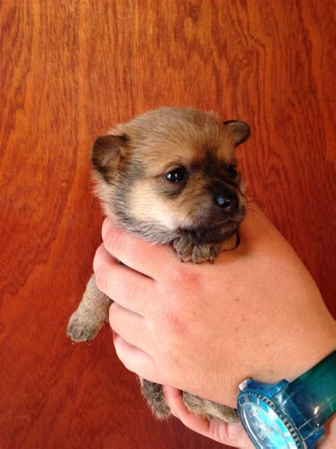 pomeranian puppies for sale in amarillo tx pomeranian puppy pictures pomeranian puppy images view pomeranian breeds picture