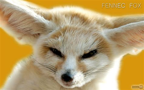 Baby Fennec Fox Wallpaper - fox wallpapers animal spot