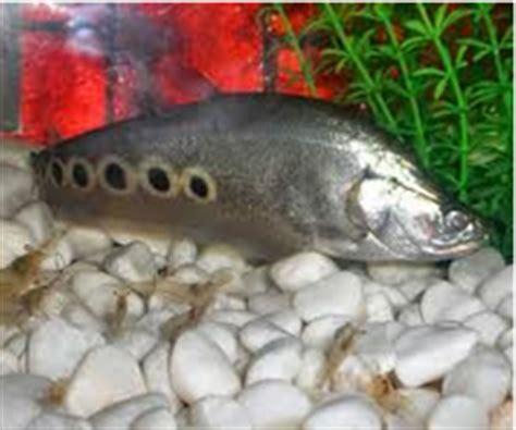 ikan belida   budidaya  merawatnya