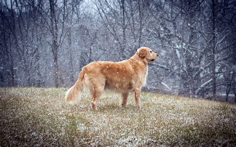 snow golden retrievers golden retriever in the snow wallpaper