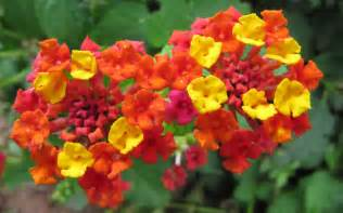 im in love with my new plant lantana garden love