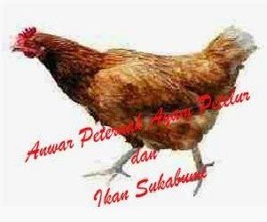 Bibit Ayam Potong Saat Ini alfin ternak oktober 2013
