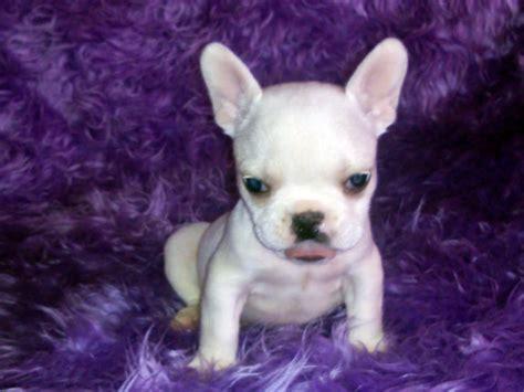 cheap mini bulldog puppies for sale teacup bulldog for sale