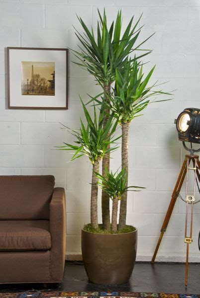 25 best ideas about large indoor plants on pinterest best 25 tall indoor plants ideas on pinterest big plants
