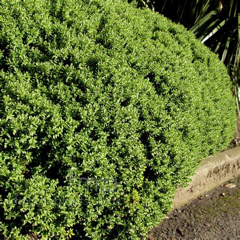 Full Sun Flowering Shrub - hebe topiara hebe information pictures amp cultivation tips