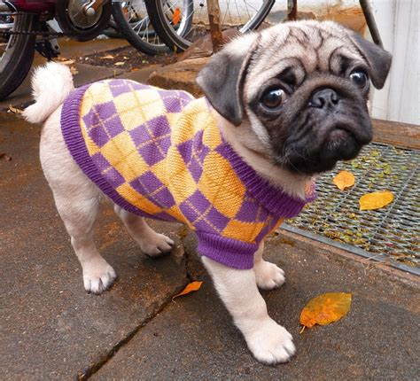 pugs in coats pugs in clothes www imgkid the image kid has it