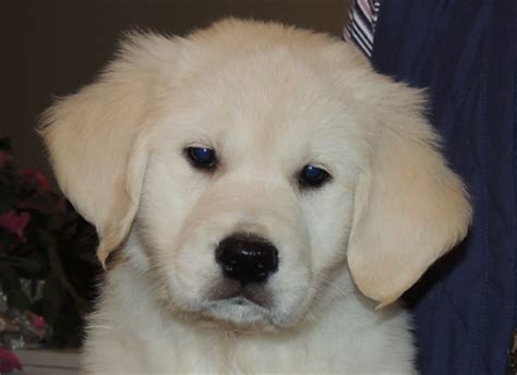 golden retriever puppies ontario golden retriever breeders ontario goldnote golden retrievers