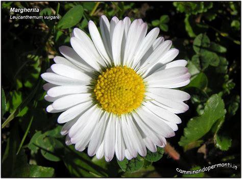 margherita immagini fiori flora margherita