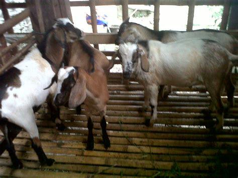Bibit Kambing Domba peternakan domba kambing assyukur