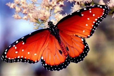 imagenes bellas mariposas la chachipedia las mariposas