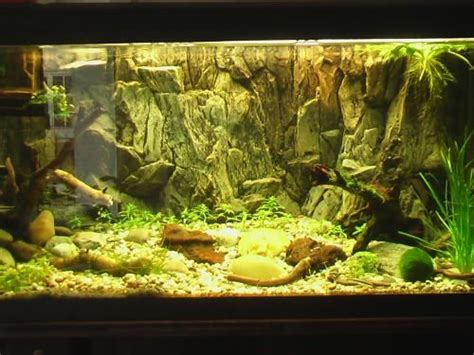 south american cichlid tank setup google search aqua