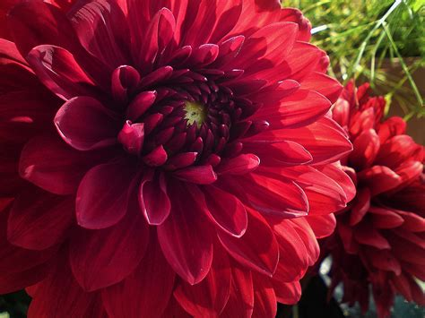 dahlia wallpapers images  pictures backgrounds