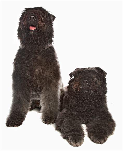 bouvier des flandres puppies needing a home bouvier des flandres breed information noah s dogs