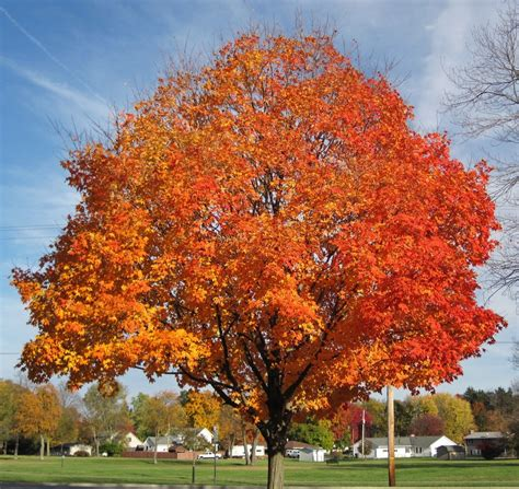 sugar maple for sale use quot freeship quot code today