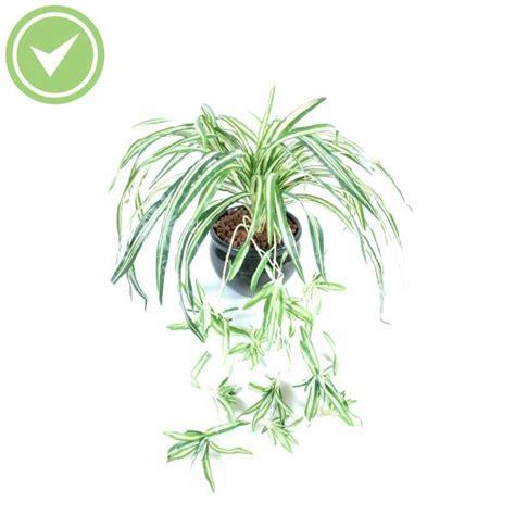 Exceptionnel Plante Verte Retombante D Interieur #5: chlorophitum.jpg