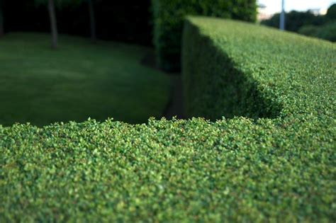 best evergreen hedge evergreens for privacy screens