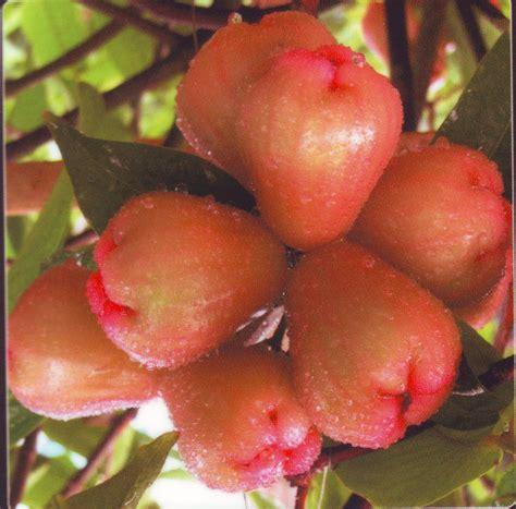 bibit tanaman buah berkualitas