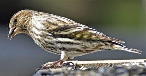 wild birds unlimited a pine siskin s most recognizable