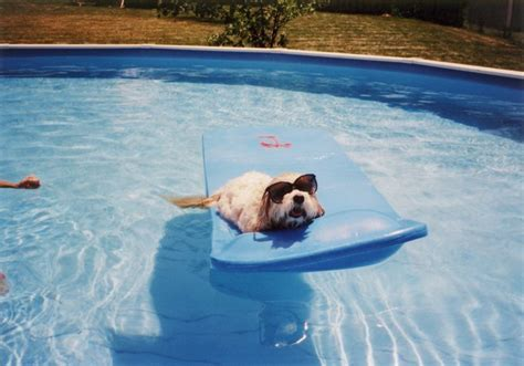 Pinks Bulldog Drowns In Pool by 5 Ways To Keep Your Puppy Safe Around The Pool Dogtime