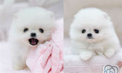 white fluffy teacup pomeranian puppies best 25 teacup pomeranian puppy ideas on pomeranians pomeranian puppy