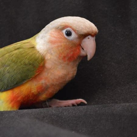 green cheek conure 137539 for sale in smithfield nc