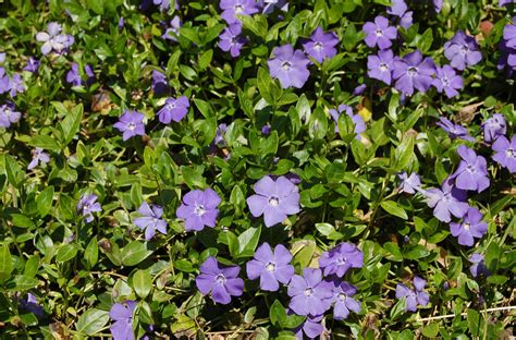 Africa Home Decor by Vinca Minor Vines Pros Cons Of A Classic Ground Cover