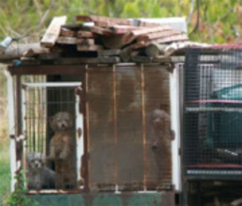 california puppy mill california is state to ban sale of puppy mill animals pet rescue report