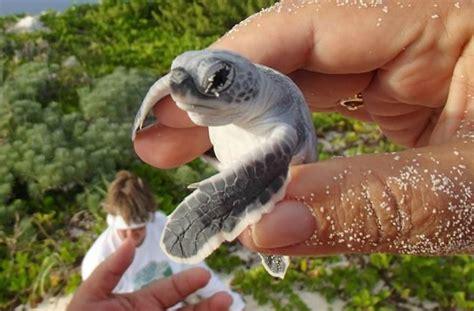 imagenes tiernas de tortugas los animales bebes m 225 s tiernos fotograf 237 as que te har 225 n