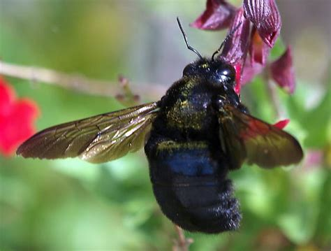 black bumble bee california large black bumble bee not a black and gold something