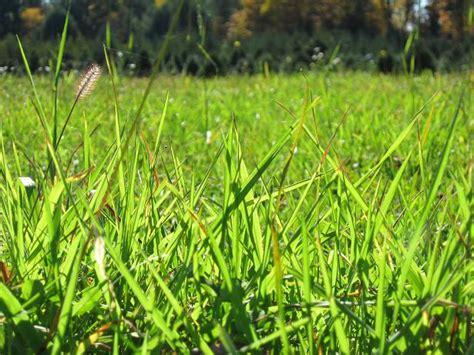 types of garden grass types of plants grass
