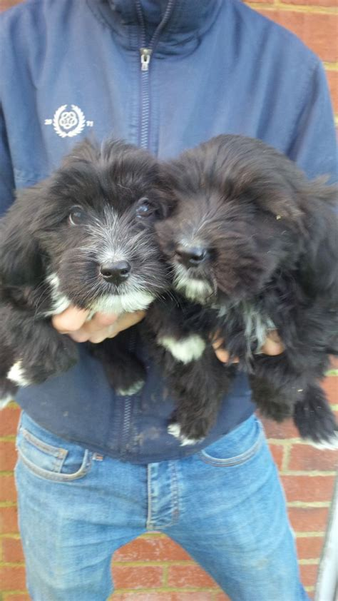 tibetan terrier puppies for adoption tibetan terrier puppies for sale scunthorpe lincolnshire pets4homes