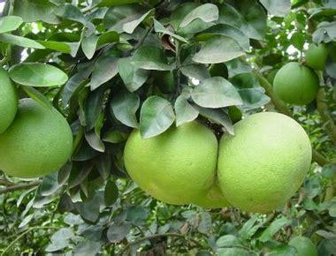 2 Bibit Tabulot Buah Unik Jeruk Nagami dhelta jual bibit buah macam macam jenis jeruk