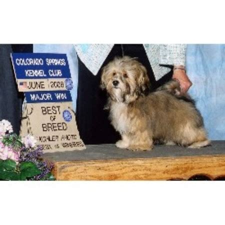 havanese breeders colorado wow havanese havanese breeder in westcliffe colorado