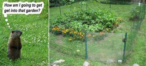Get Rid Of Groundhogs Shed by 15 Most Effective Ways To Deter Critters From Your Property