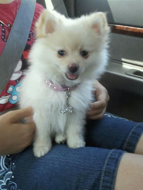 pomeranian puppy food 25 best ideas about baby pomeranian on bears baby bears and black