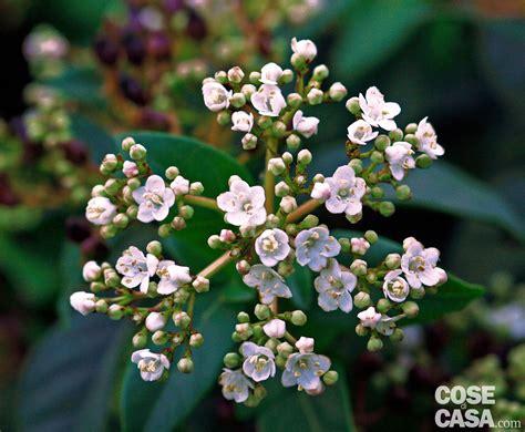 siepe con fiori siepe sempreverde con fiori best di spedizione gratuita