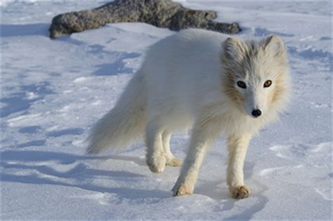 animals that change color 6 animals who change color in winter like it s no big deal