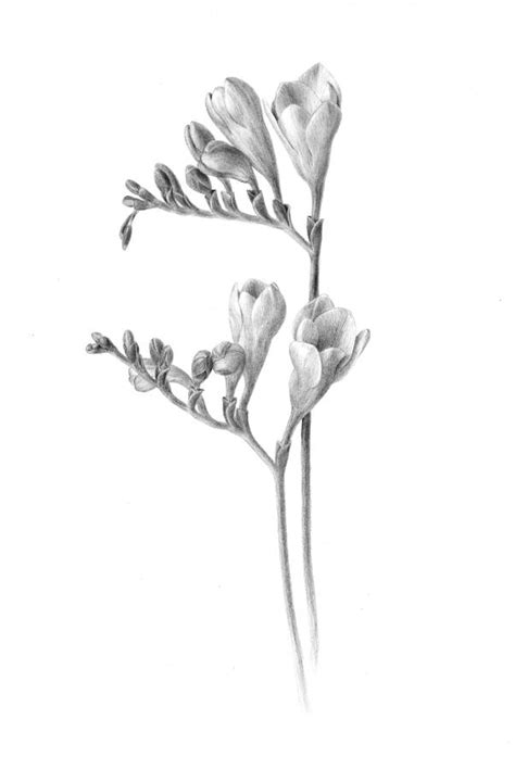 freesia drawing by diane cardaci