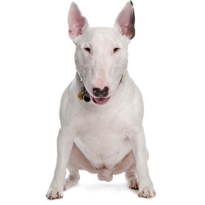 alimentazione bull terrier cucciolo bull terrier caratteristiche e foto