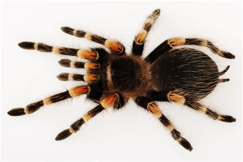 5 questions to ask yourself before getting a pet tarantula