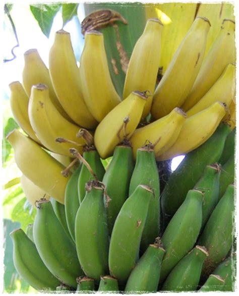 banano in vaso banano nano musa paradisiaca vendita piante